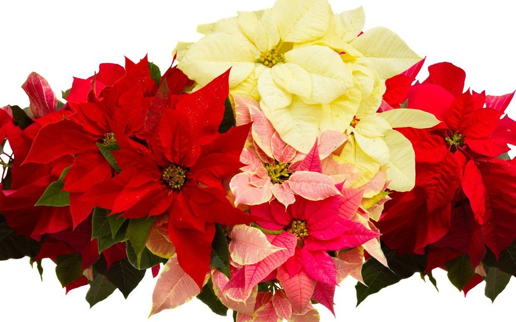 poinsettias plants